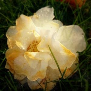 Calm Camellia
