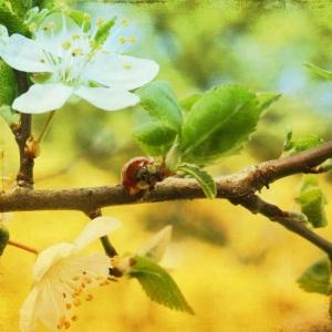 Ladybug Blossom Branch