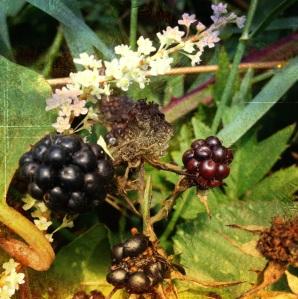 Blackberry Bramble