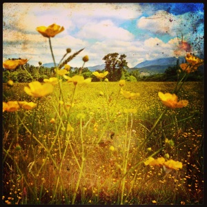 Buttercup Fields Forever