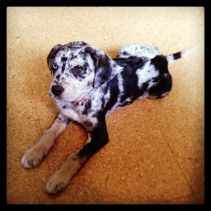 Hazel the Catahoula by Julia Austine for Meat of the Message